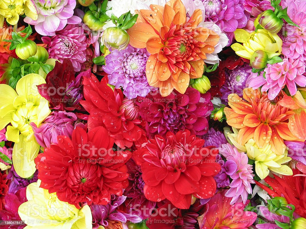 Colourful dahlia with waterdrops royalty-free stock photo