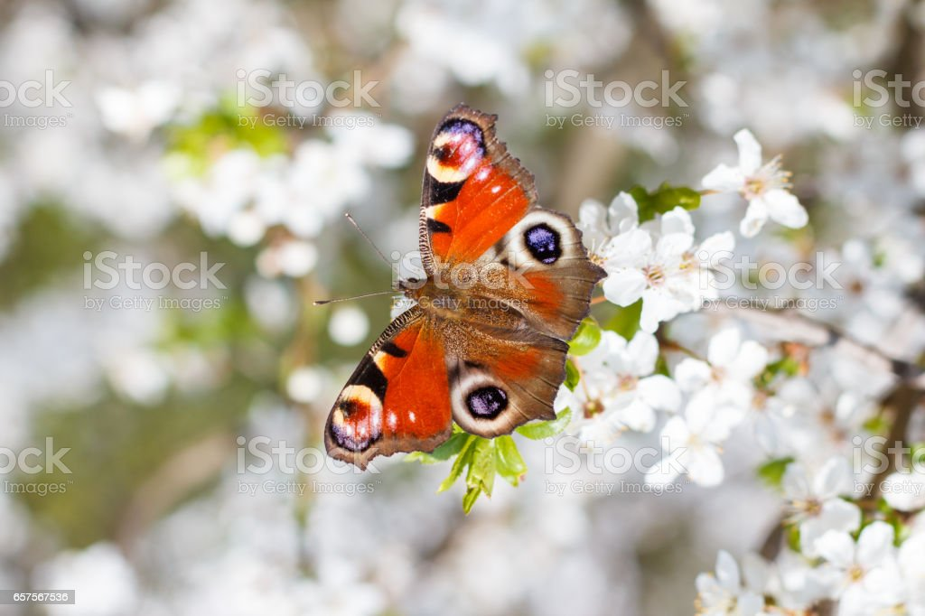 Colourful European Peacock butterfly Aglais io, on a flowering branch of Prunus spinosa blackthorn, or sloe stock photo