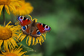 Colourful European peacock butterfly on the yellow flower, green background, beautiful brown wings.