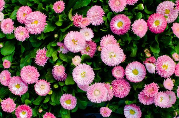 kleurrijke bloemen roze en groene bloem achtergrond met kopie ruimte - madeliefje stockfoto's en -beelden