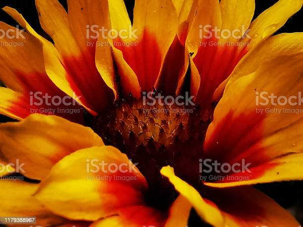 Photo of Colourful Gaillardia Goblin