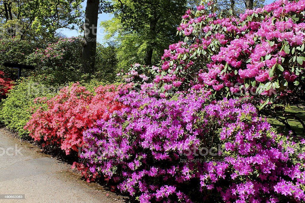 Colourful garden flower bed, with pink and purple azaleas (rhododendrons) stock photo