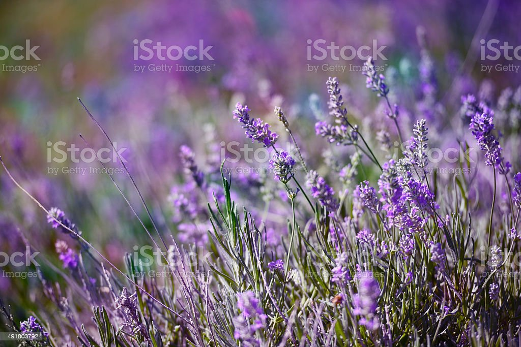 Colourful garden Lavender flower on a summer day stock photo