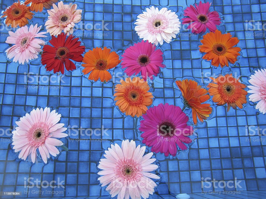 Colourful Gerberas Floating in Pool royalty-free stock photo