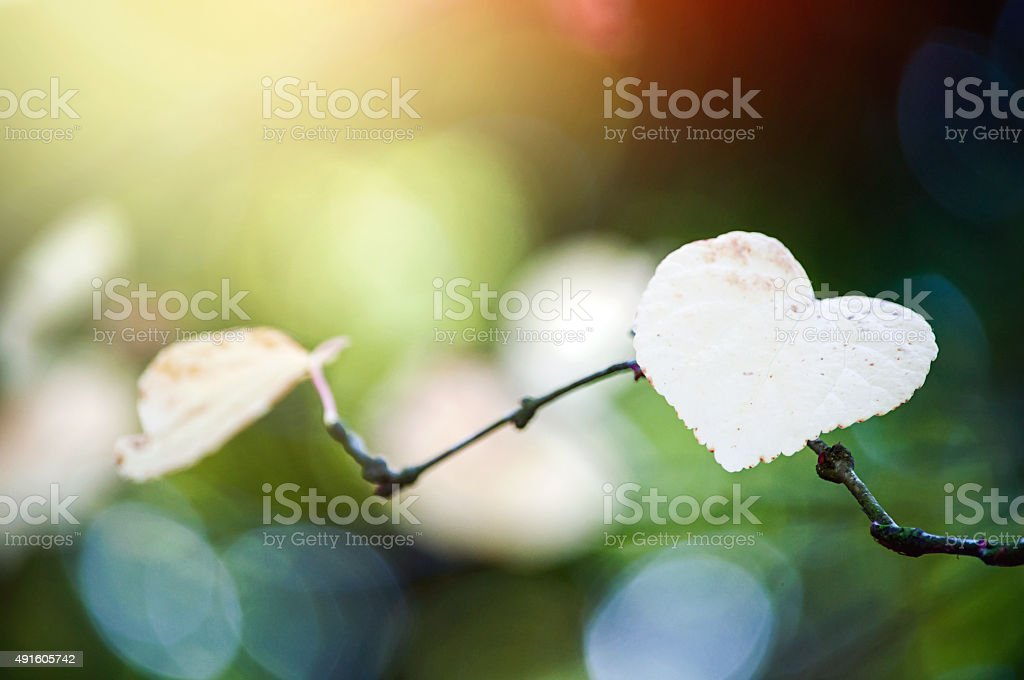 Colourful heart shaped leaf on a branch in sunshine. stock photo
