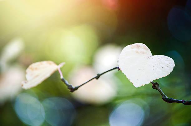 farbenfrohe herz geformte blätter auf einem ast im sonnenlicht. - liebesbaum stock-fotos und bilder