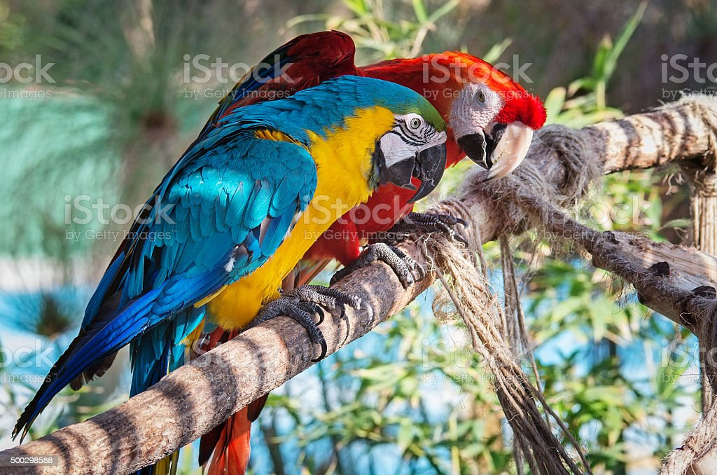 Colourful macaws stock photo