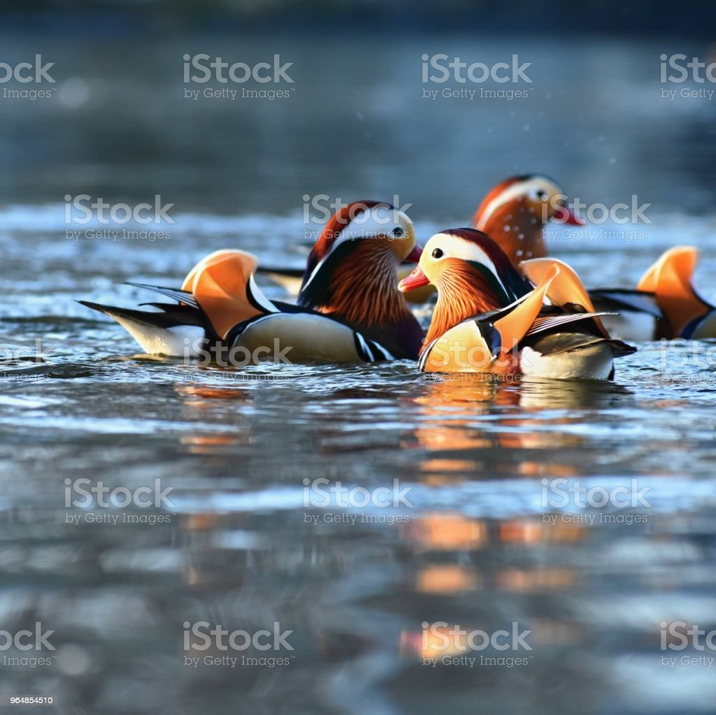 A colourful male mandarin duck. (Aix galericulata) royalty-free stock photo