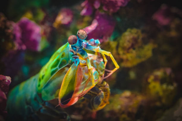 Colourful Mantis Shrimp watching you Colourful Mantis Shrimp watching you invertebrate stock pictures, royalty-free photos & images