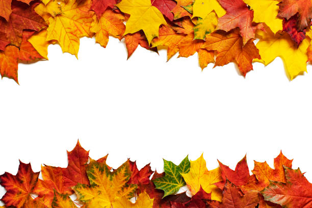 Colourful maple fall leaves stock photo