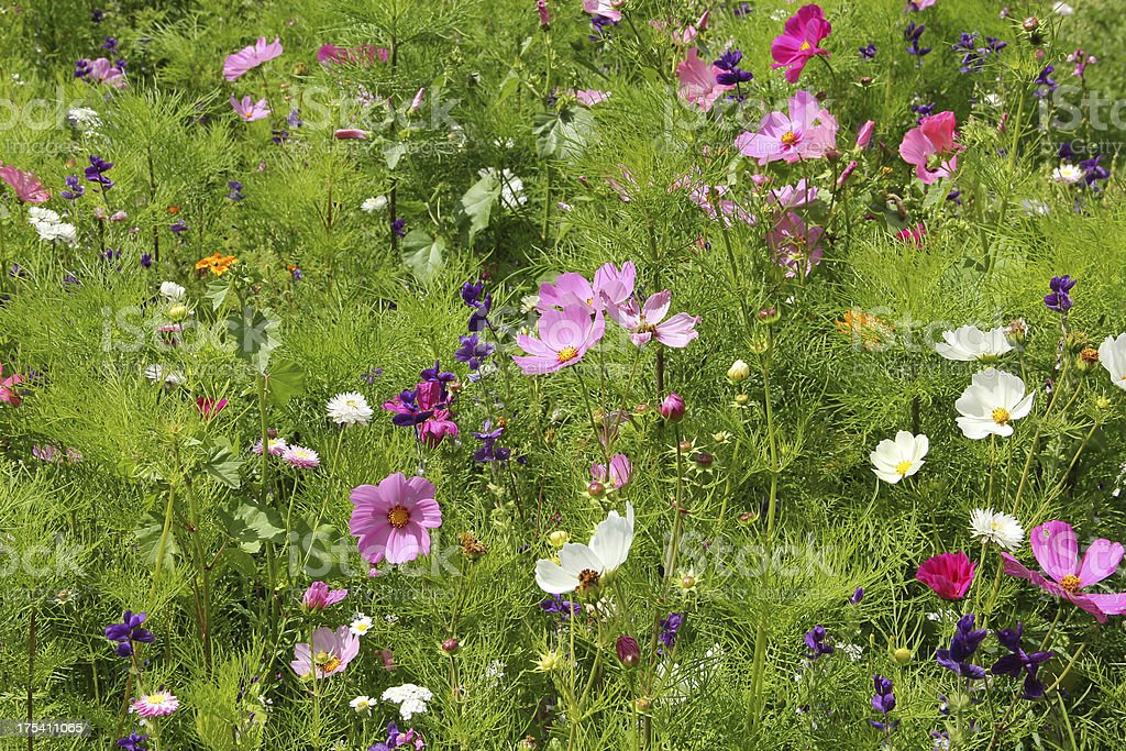 Colourful meadow with flowers royalty-free stock photo