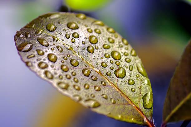 colourful nature. raindrops on a waxy leaf - achtsamkeit persönlichkeitseigenschaft stock-fotos und bilder