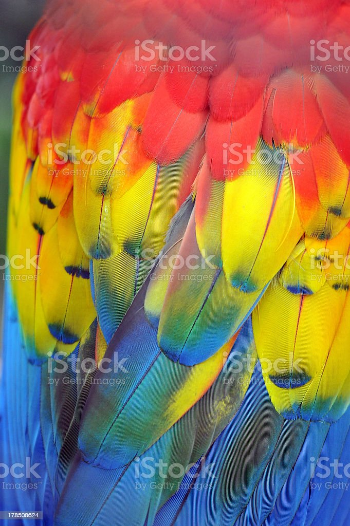 Colourful Plumage of a Macaw Parrot royalty-free stock photo