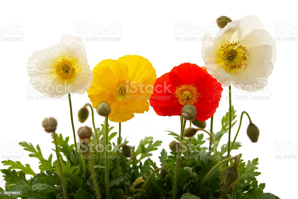Colourful Poppies royalty-free stock photo