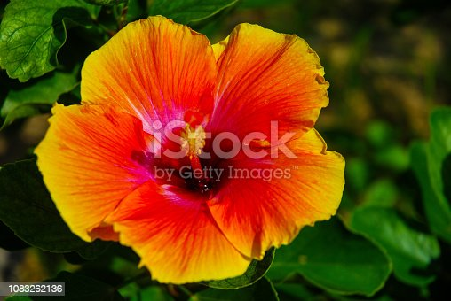 istock Colourful  shoe flower. 1083262136