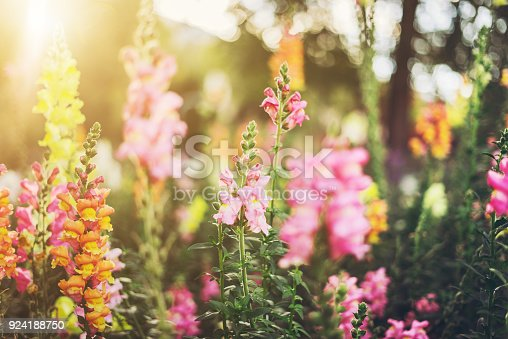 Colourful snapdragon flowers in a garden