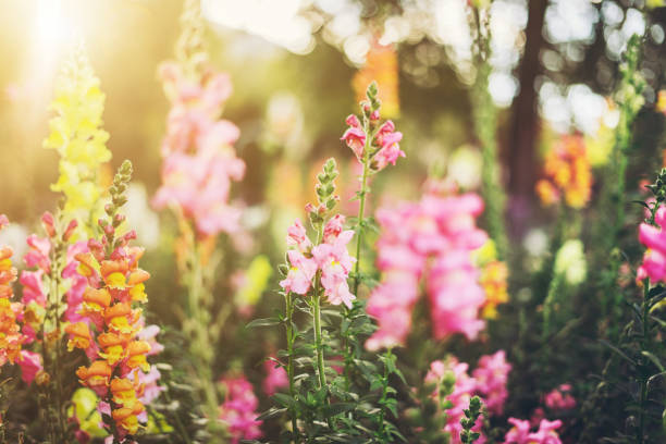 Colourful snapdragon flowers stock photo