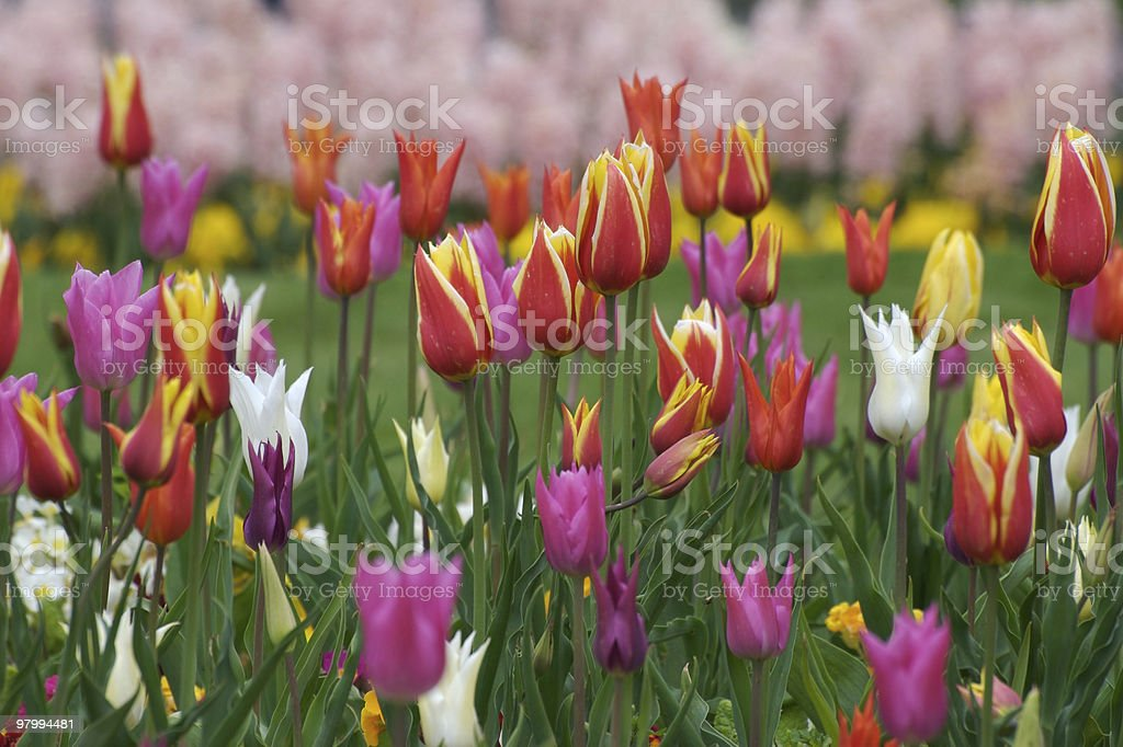 Colourful spring flowers in the park, tulip field royalty free stockfoto