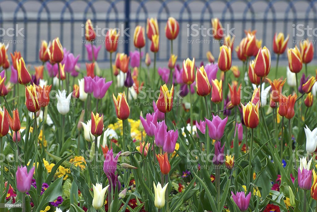 Colourful spring flowers in the park, tulip field royalty-free stock photo