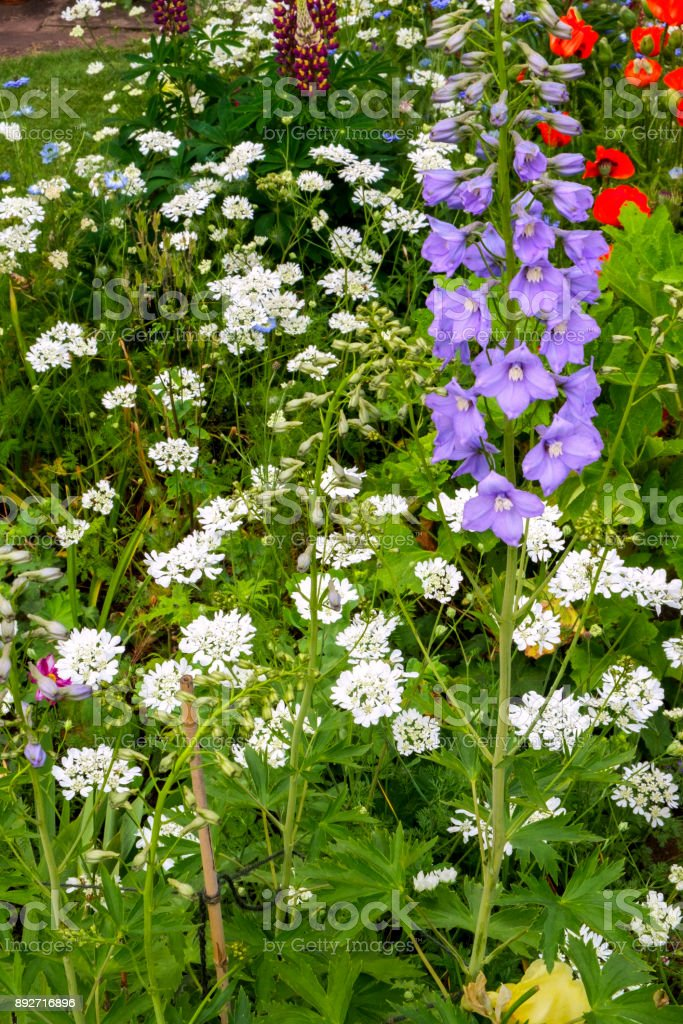 Colourful summer UK cottage garden border with canterbury bells