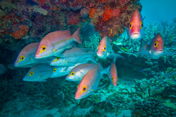 colourful, tropical fish - great barrier reef marine park stock pictures, royalty-free photos & images