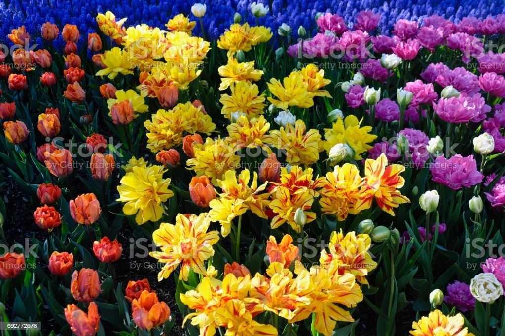 Colourful tulip flower bed.