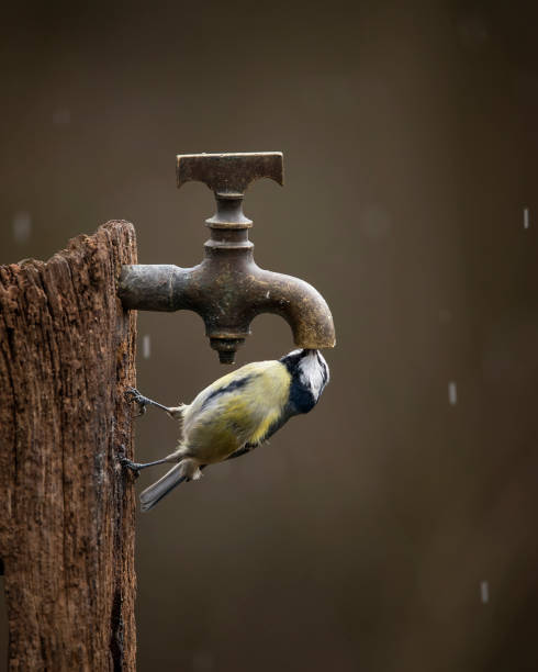 Colourful vibrant Great Tit bird Parus Major on wooden post with water tap in Spring sunshine in garden stock photo
