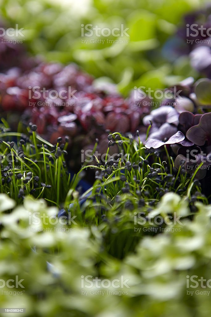 Colourful watercress royalty-free stock photo