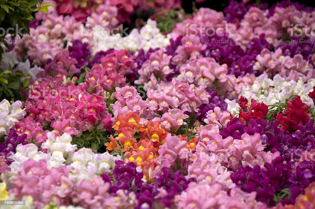 Colourful Wild Weed Flower Sea, the Snapdragons stock photo