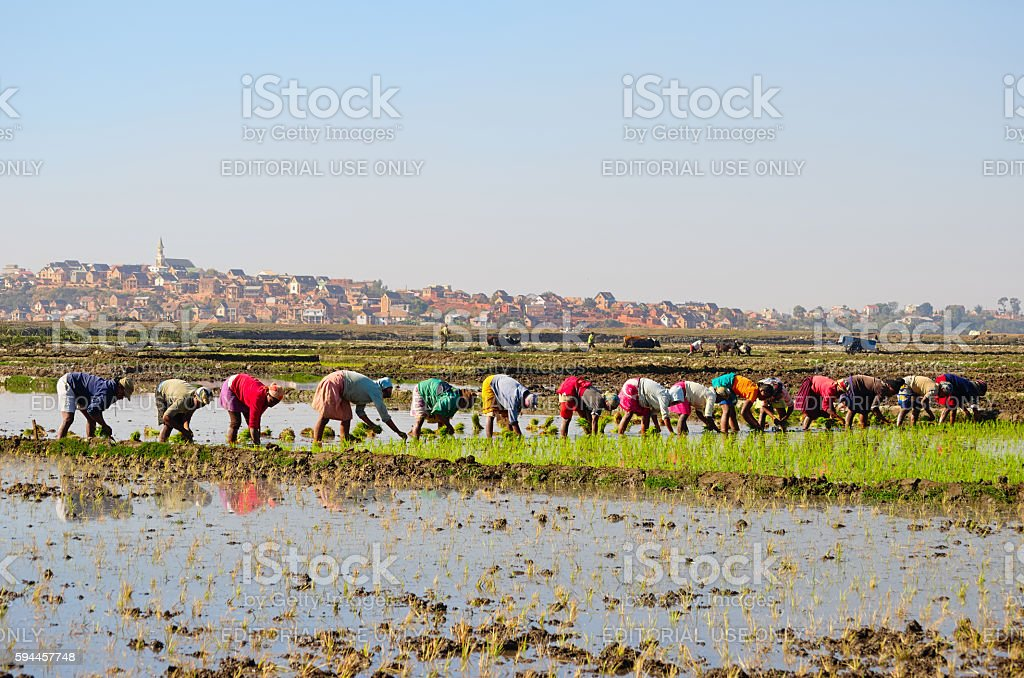 Colourfully dressed women planting rice with village in the background stock photo