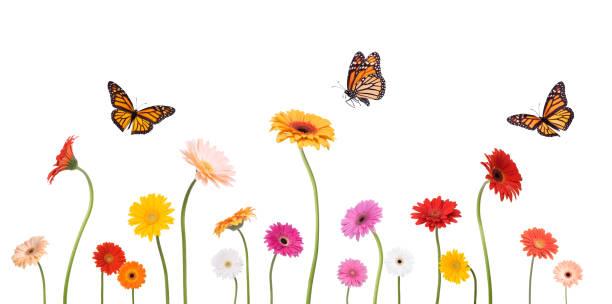 Colroful spring gerbera daisies and monarch butterflies isolated on picture id157573285?b=1&k=6&m=157573285&s=612x612&w=0&h=aak cdkaefz1kxjzbatlu0xjrgsh40cn805bfwav990=