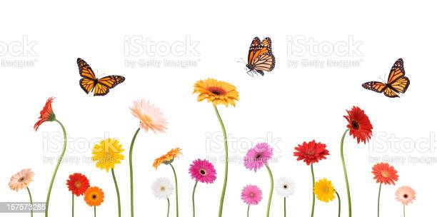 Photo of Colroful Spring Gerbera Daisies and Monarch Butterflies Isolated on White