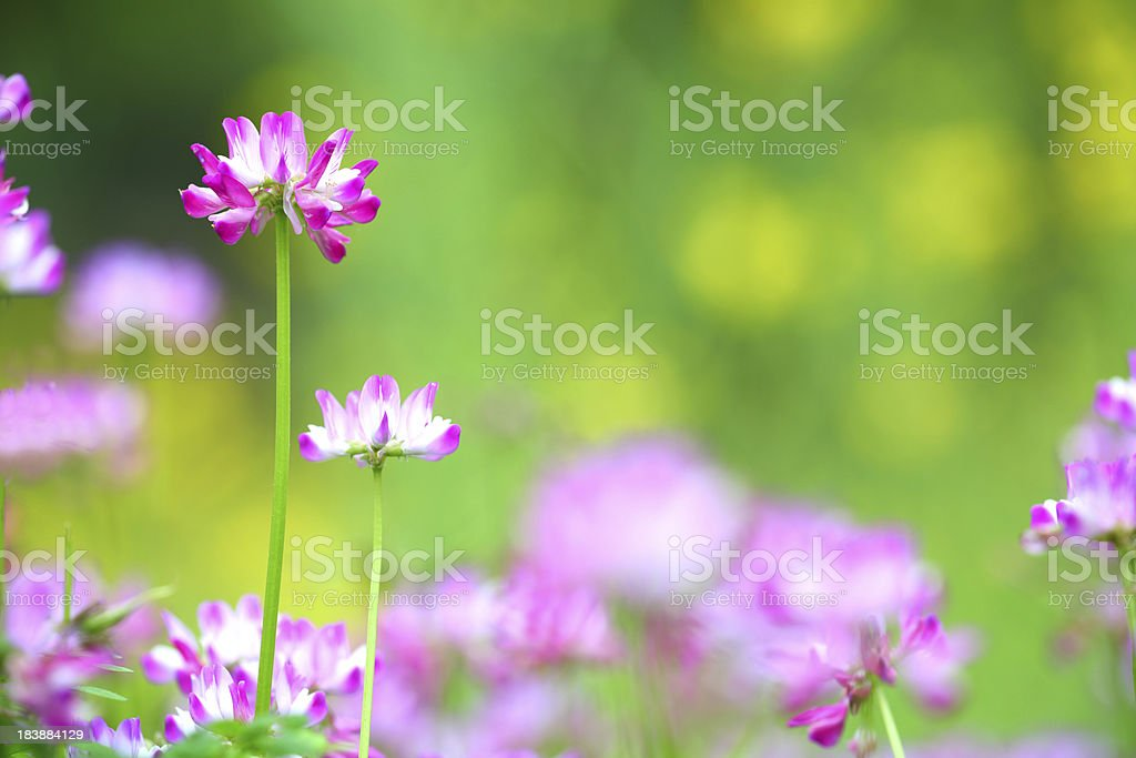 Astragalus sinicus colse-up stock photo