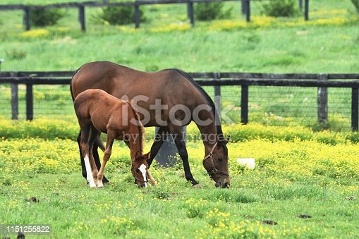 Colt and mare grazing in yellow wildflowers.