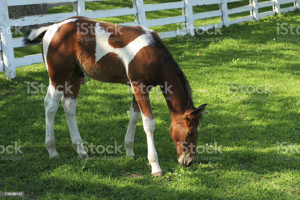 Colt in Field royalty-free stock photo