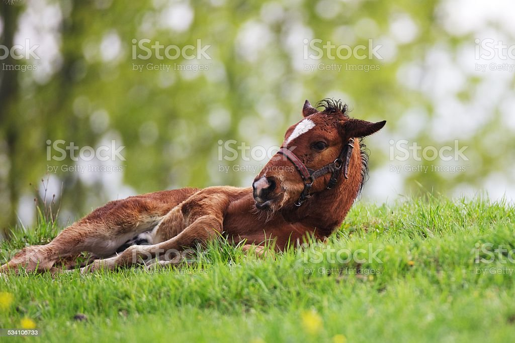 Colt lies on the ground stock photo