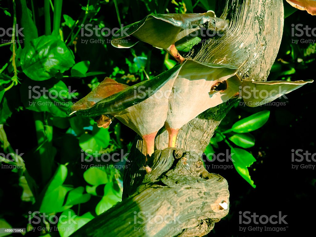 Coltricia perennis, Embranchement-Champignons stock photo