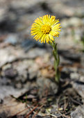 Coltsfoot. The first spring flower is pierced through last year's fallen leaves