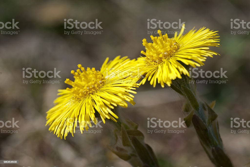 Coltsfoot royalty-free stock photo