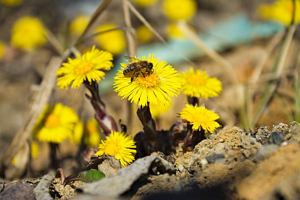 Coltsfoot, the first spring yellow flowers and bee. stock photo