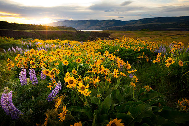 Columbia River Gorge Wildflowers Springtime in the Columbia River Gorge, Oregon. wildflower stock pictures, royalty-free photos & images
