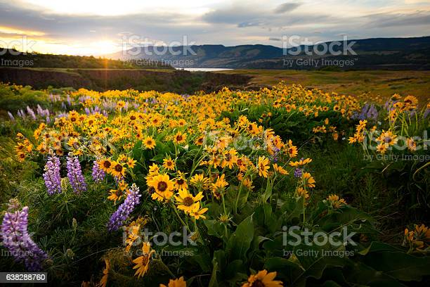 Photo of Columbia River Gorge Wildflowers