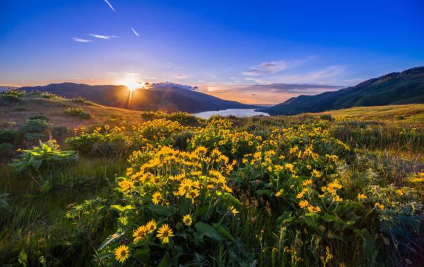 Columbia River Gorge Wildflowers stock photo