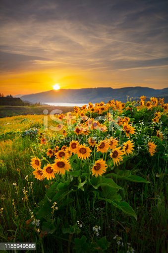 Balsam root flowers on Rowena Crest in the Columbia River Gorge, Oregon.