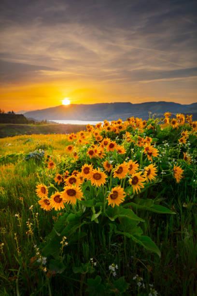 Columbia River Wildflowers Rowena. – Foto