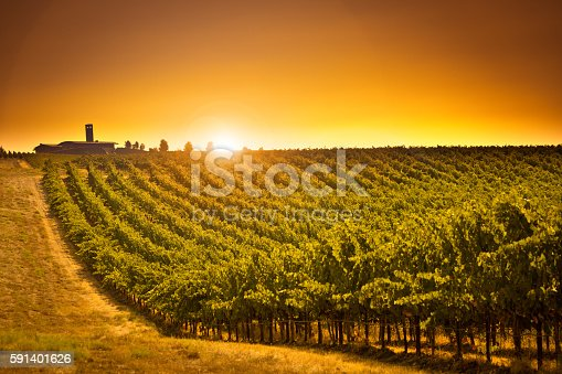 Rows of wine grapes growing in vineyard in the Columbia Valley of Washington State in United States.