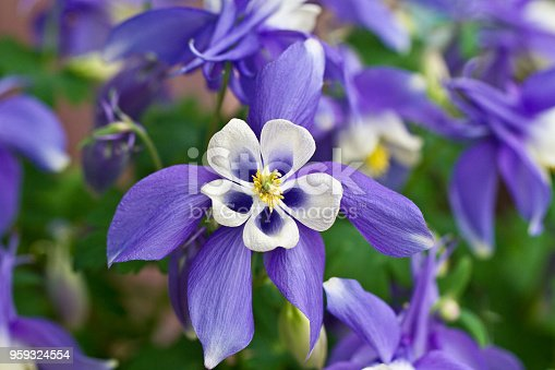 Rocky Mountain Aquilegia