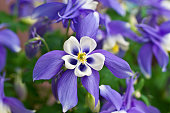 Columbine Aquilegia Caerulea flower.