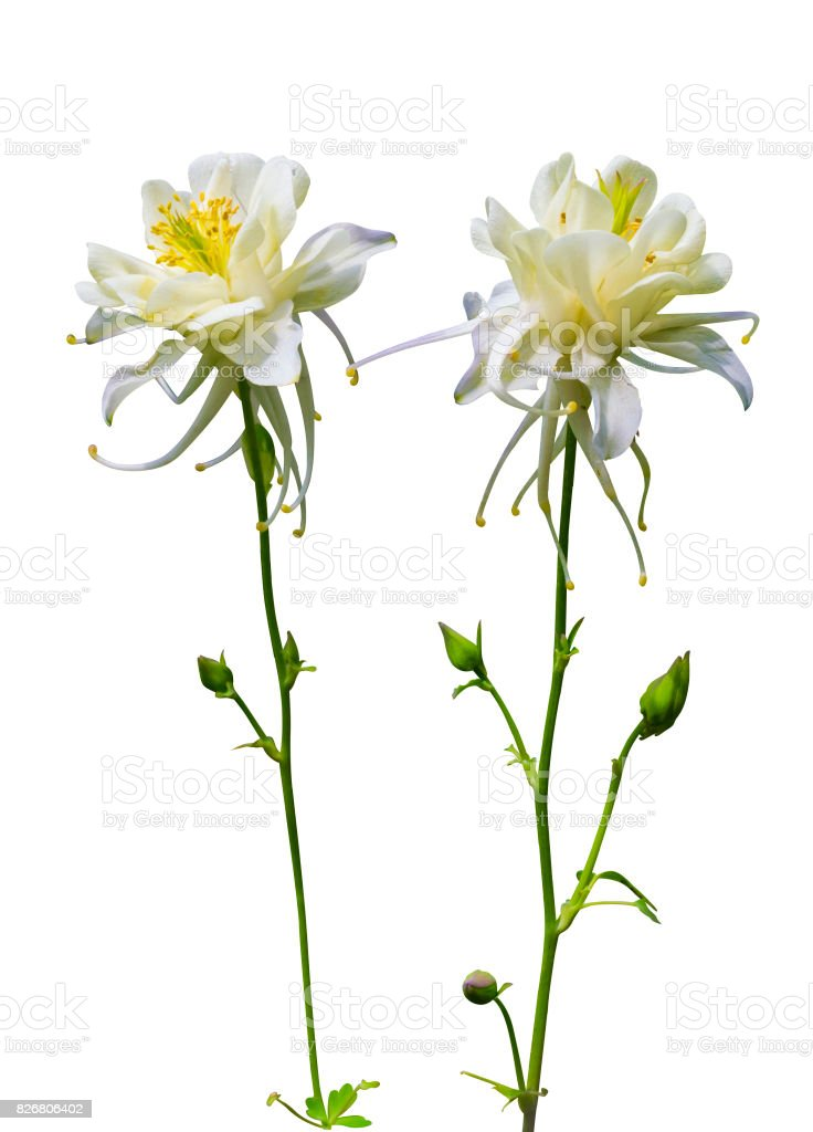 columbine. Columbine flower. Columbine flower  isolated on a white background.  Herbarium of spring flowers. stock photo