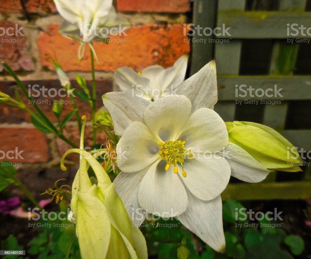 Columbine flower Lizenzfreies stock-foto